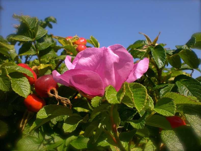 wild-rose-Hagebutte-1199146_960_720